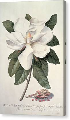 Magnolia Canvas Print -  Magnolia by Georg Dionysius Ehret