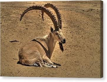 Nubian Ibex Canvas Print by Alexander Rozinov
