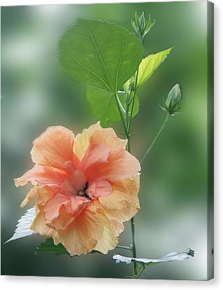Peach Blossom  Canvas Print by Art Spectrum