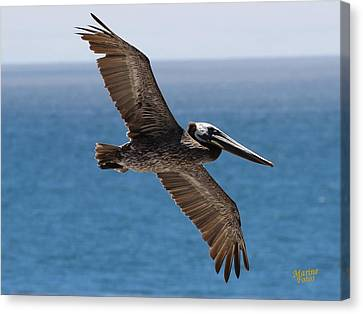 Pelican Flying Wings Outstretched Canvas Print