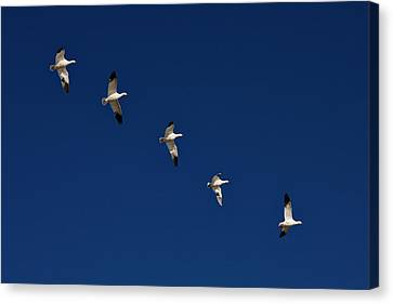 Snow Geese Formation Canvas Print by Tom Cheatham