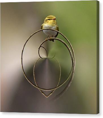 Wood Warbler Canvas Print by Jouko Lehto