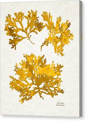 Yellow Gold Seaweed Art Delesseria Alata Canvas Print by Christina Rollo