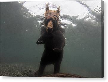A Brown Bear Fishing For Salmon Canvas Print by Randy Olson