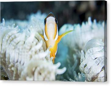 A Clarks Anemonefish Snuggles Amongst Canvas Print by Ethan Daniels