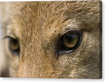 A Coyote At A Wildlife Rescue Members Canvas Print by Joel Sartore