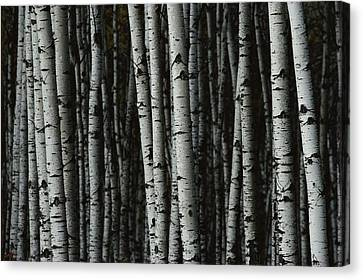 A Forest Of White Birch Trees Betula Canvas Print by Medford Taylor