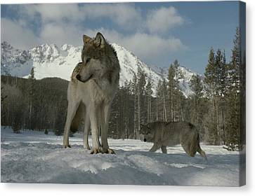 A Gray Wolf, Canis Lupus, Stands Canvas Print by Jim And Jamie Dutcher