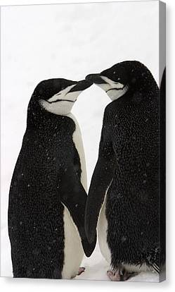 Subject Canvas Print - A Pair Of Chinstrap Penguins by Ralph Lee Hopkins