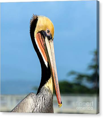 Canvas Print featuring the photograph A Pelican Posing by Susan Wiedmann