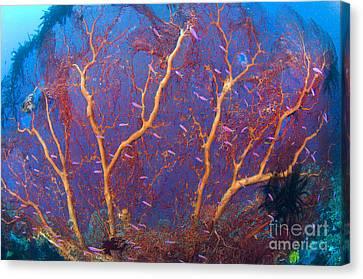 A Red Sea Fan With Purple Anthias Fish Canvas Print by Steve Jones