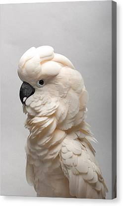 Salmon Canvas Print - A Salmon-crested Cockatoo by Joel Sartore