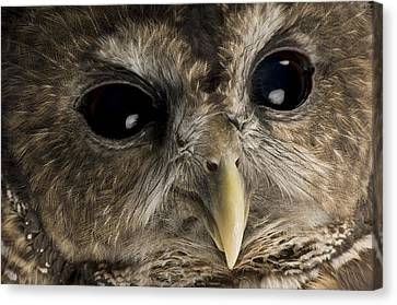 A Threatened Northern Spotted Owl Canvas Print by Joel Sartore