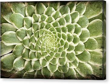 Aeonium Succulent  Canvas Print by Catherine Lau