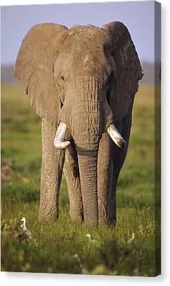 African Elephant Loxodonta Africana Canvas Print by Gerry Ellis