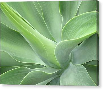 Agave Attenuata Abstract Canvas Print