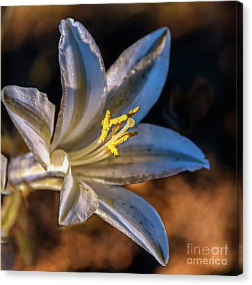 Canvas Print featuring the photograph Ajo Lily by Robert Bales