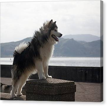 Alaskan Malamute.  Canvas Print by Christopher Rowlands