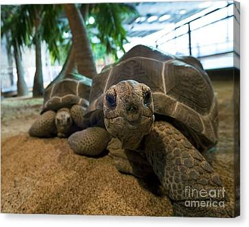 Aldabra Giant Tortoises Canvas Print by Alexis Rosenfeld
