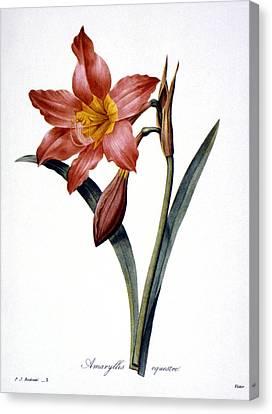 Amaryllis Canvas Print by Granger