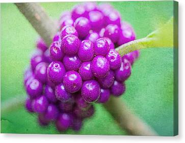 American Beautyberry Canvas Print by Jon Woodhams