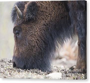 American Bison Canvas Print by Twenty Two North Photography