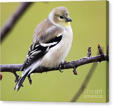 American Goldfinch Canvas Print by Ricky L Jones
