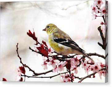 American Goldfinch In Spring Canvas Print by Trina Ansel