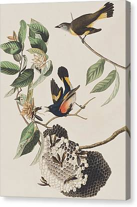 American Redstarts Canvas Print - American Redstart  by John James Audubon