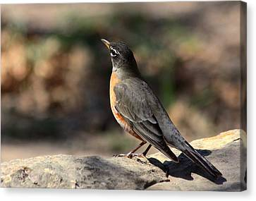American Robin On Rock Canvas Print
