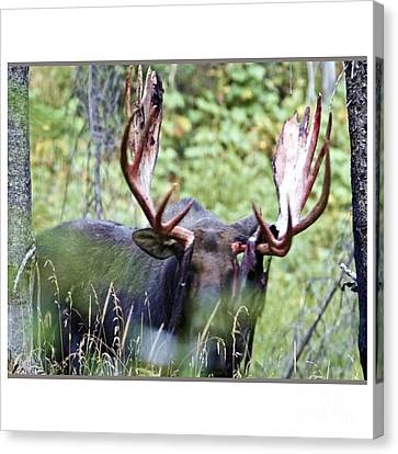 American Wild Animals Antlers Moose Deer Tshirts Pillows Posters Duvet Covers Shower Curtains Phone  Canvas Print by Navin Joshi