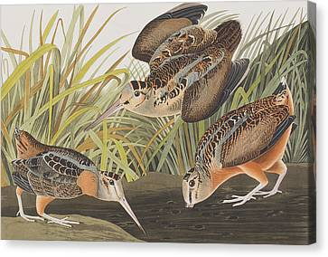 American Woodcock Canvas Print by John James Audubon