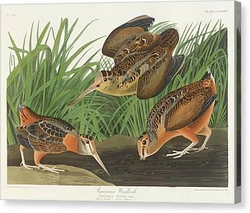 Woodcock Canvas Print - American Woodcock by John James