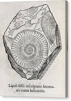 Ammonite Fossil, 16th Century Canvas Print by Middle Temple Library