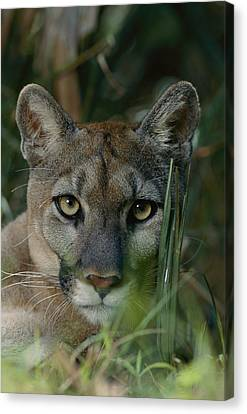 An Alleged Florida Panther. Owner Frank Canvas Print by Michael Nichols