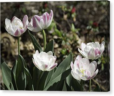 Angelique Peony Tulips Canvas Print by Teresa Mucha