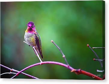 Anna Hummingbird Vii Canvas Print