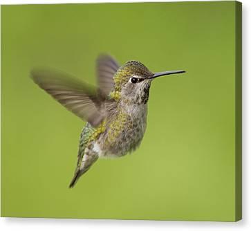 Anna's Hummingbird Canvas Print by Doug Herr
