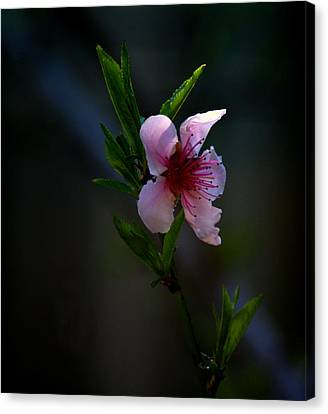 Apple Blossom Canvas Print by Martin Morehead