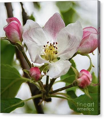 Apple Blossom Canvas Print by Robert Bales