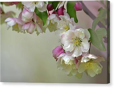 Canvas Print featuring the photograph Apple Blossoms  by Ann Bridges