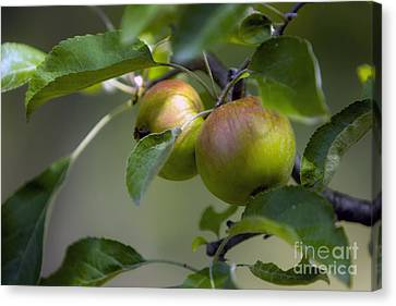 Apples On A Branch Canvas Print by Dan Radi
