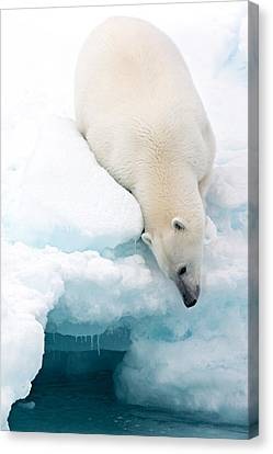 Arctic Composition Canvas Print by Marco Gaiotti