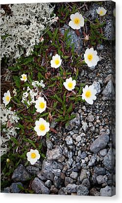 Arctic Flowers Canvas Print by Konstantin Dikovsky