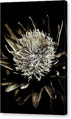 Artichoke Flower Canvas Print by Frank Tschakert