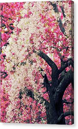 Asian Cherry Vignette Canvas Print by Jessica Jenney