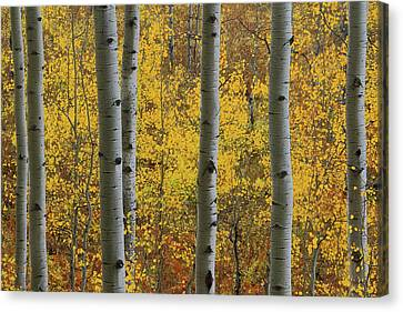 Canvas Print featuring the photograph Aspen In Autumn At Mcclure Pass by Jetson Nguyen
