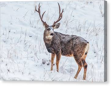 Atypical Buck Canvas Print