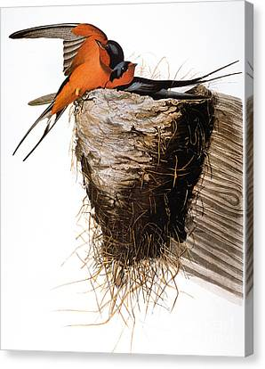Audubon: Swallow Canvas Print by Granger