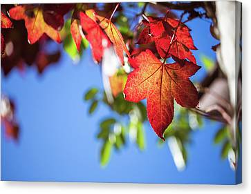 Canvas Print featuring the photograph Autumn Leaves  by Jingjits Photography